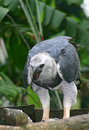 Harpya harpyja (Harpy Eagle) Stock Photo