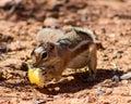 Harris ground squirrel Photographie stock libre de droits