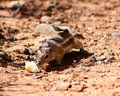 Harris ground squirrel Fotografia de Stock