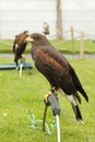 Harris hawk. Royalty Free Stock Image