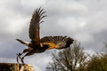 Harris Hawk Stock Photos