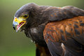 Harris hawk close up against a blurred green background Royalty Free Stock Image