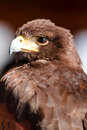 Harris hawk close up of a sitting in a tree Stock Photo