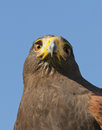 Harris hawk closeup of a against a blue sky Royalty Free Stock Photography
