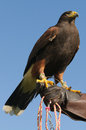 Harris hawk closeup of a falconer with their on their hand Royalty Free Stock Images