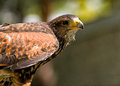 Harris hawk closeup portrait of a Stock Photos