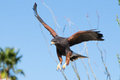 Harris hawk descending on prey fixing to land Royalty Free Stock Images