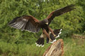 Harris Hawk - Ecuador - South America Royalty Free Stock Image