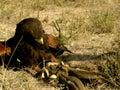 Harris' Hawk Fighting Prey Royalty Free Stock Photo