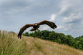 Harris hawk in flight bird of prey flying over countryside Stock Photos