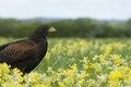 Harris hawk in meadow Stock Photography