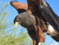 Harris Hawk, Parabuteo unicinctus Royalty Free Stock Images