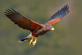 Harris Hawk, Parabuteo unicinctus, landing. Wildlife animal scene from nature. Bird in fly. Flying bird of prey. Wildlife scene fr Royalty Free Stock Photo