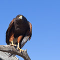 Harris hawk perching on a branch Stock Photography