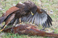 Harris Hawk with pheasant prey Stock Images