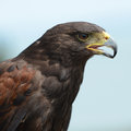 Harris Hawk portrait Stock Photography