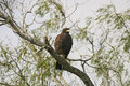 Harris hawk raptors south texas Stock Image