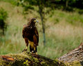 Harris hawk at rest perched on mossy log Royalty Free Stock Image