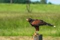 Harris hawk sitting on a wooden pole Royalty Free Stock Photo