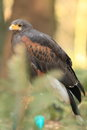 Harris hawk the standing on the perch Stock Photo