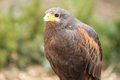 Harris hawk the upper body of adult Royalty Free Stock Image