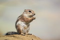 Harris s antelope squirrel the sitting on the rock Stock Photo