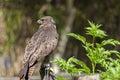 Harris`s buzzard parabuteo unicinctus Royalty Free Stock Photo