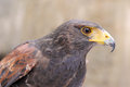 Harris's Hawk Stock Photo