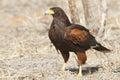 Harris s hawk parabuteo unicinctus perched on the ground tex texas Royalty Free Stock Photo