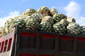 The hart from Agave plant to make Mescal or Mezcal Royalty Free Stock Photo