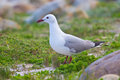 Hartlaub's Gull Stock Photography