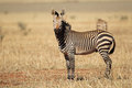 Hartmanns mountain zebra a equus hartmannae southern africa Royalty Free Stock Photos