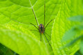 Harverstman or daddy long legs spider on a leaf Stock Photo