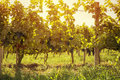 Harvest in autumn vineyard Royalty Free Stock Photo