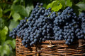 Cosecha de azul uva