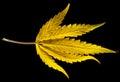 Harvest cannabis is a genus of flowering plants Stock Photo