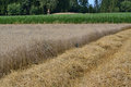 Harvest cereal field Royalty Free Stock Photo