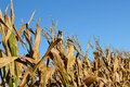 Harvest corn dried cornstalks ready for Royalty Free Stock Photos