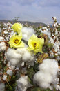 Harvest of cotton Stock Photo