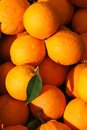 Harvest of fresh oranges close-up. vertical Royalty Free Stock Photo