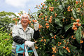 Harvest of fruit senior cheerful japanese loquat Stock Photo