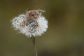 Harvest Mouse and dandelion clock Royalty Free Stock Photo