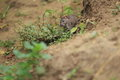 Harvest mouse the eurasian on the soil Stock Photography