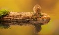 Harvest mouse a little cute on an old mossy log in a reflection pool Stock Photo