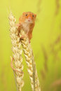 Harvest mouse a little cute on some wheat looking at the camera Royalty Free Stock Photo