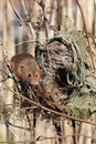 Harvest mouse micromys minutus single at a nest in reeds captive january Royalty Free Stock Photos