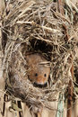 Harvest mouse micromys minutus single at a nest in reeds captive january Stock Photo