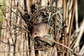 Harvest mouse micromys minutus single at a nest in reeds captive january Stock Images