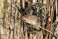 Harvest mouse micromys minutus single at a nest in reeds captive january Royalty Free Stock Photo