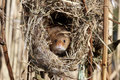 Harvest mouse micromys minutus single at a nest in reeds captive january Royalty Free Stock Photography